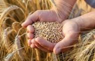 Pesquisa e setor produtivo buscam conter micotoxinas no trigo