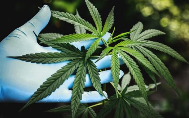 Deliberado o plantio e registro da Cannabis pela ANVISA